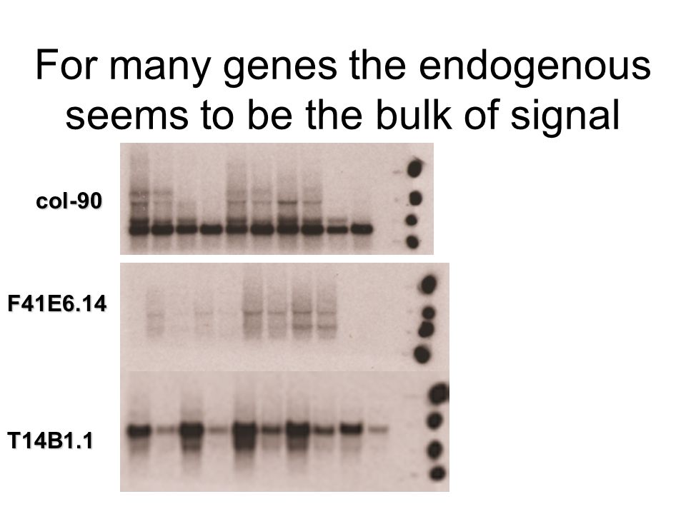 For many genes the endogenous seems to be the bulk of signal col-90 F41E6.14 T14B1.1