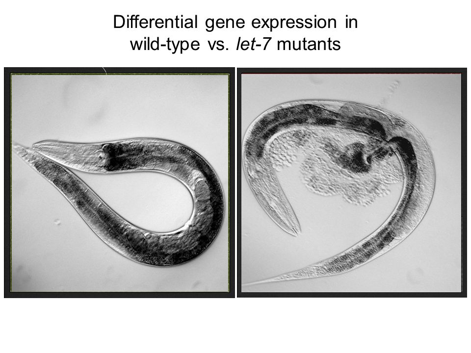 122 up-regulated transcripts in the let-7 mutant (3 independent experiments, p-values <.01) Differential gene expression in wild-type vs. let-7 mutant