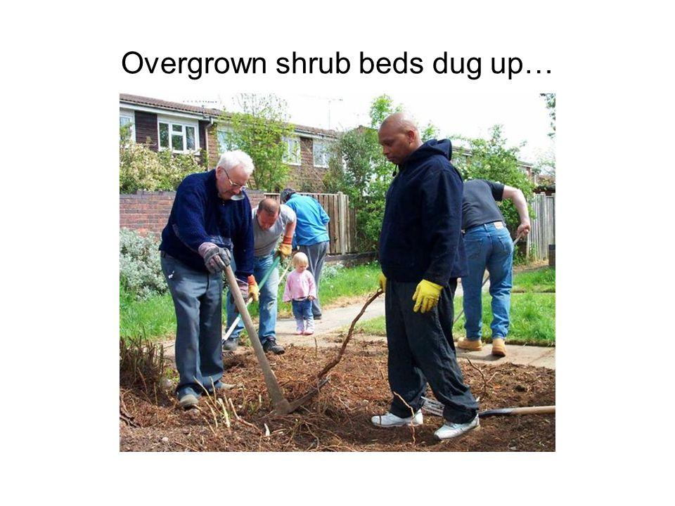 Overgrown shrub beds dug up…