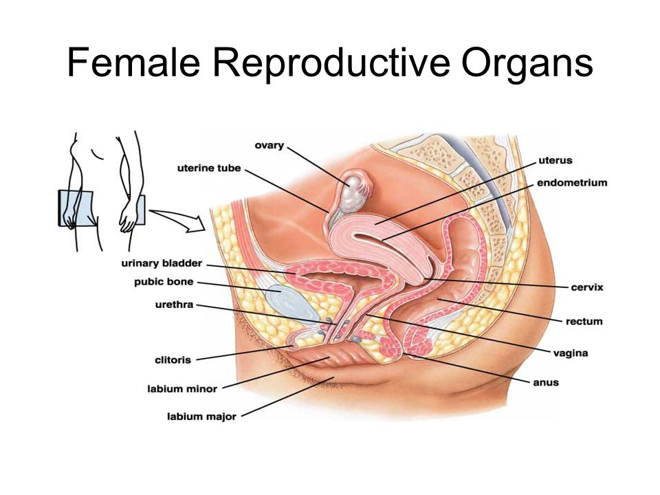 Female Reproductive Structures and their Functions StructureFunction OvarySite of oogenesis and estrogen and progesterone production Oviducts=Fallopian Tubes Site of egg fertilization, egg travels through to uterus if not fertilized UterusZygote implants here, embryo grows via placenta CervixCreates mucin strands for sperm to travel up into uterus VaginaReceives sperm, birth canal for fetus ClitorisSensory organ similar to glans penis