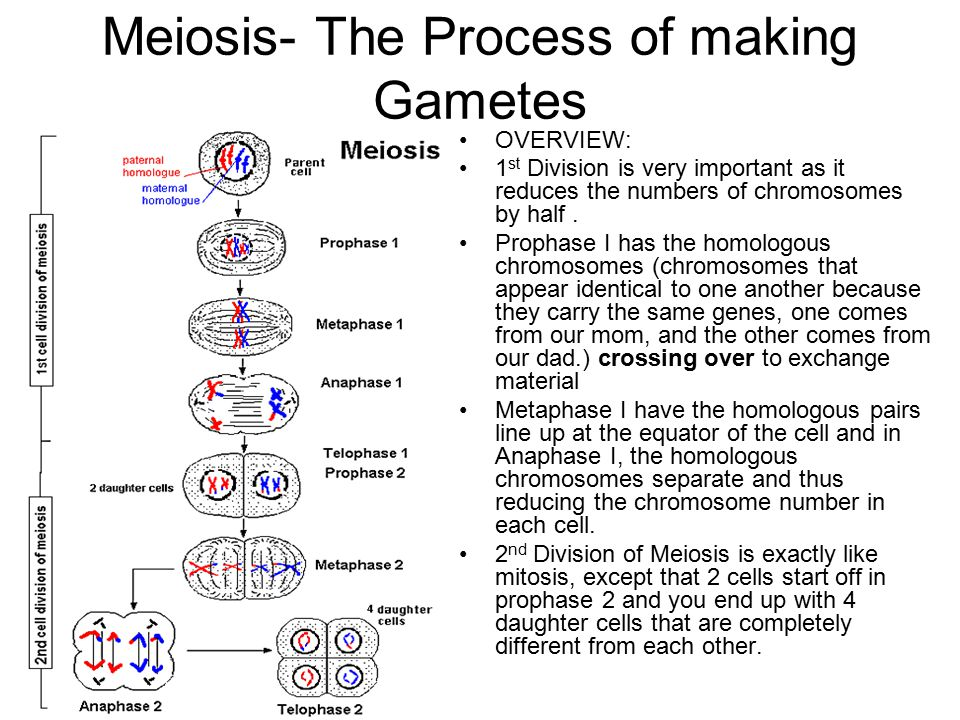 Meiosis: Oogenesis – Making Eggs There are still 4 different cells created, however, only 1 of them is used for fertilization * note: the first meiotic division starts at ovulation, while the second meiotic division is not complete until fertilization occurs.