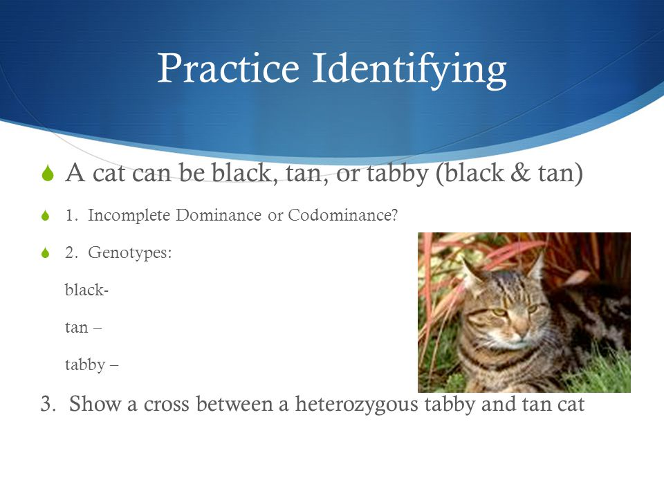 Practice Identifying  A cat can be black, tan, or tabby (black & tan)  1. Incomplete Dominance or Codominance?  2. Genotypes: black- tan – tabby –