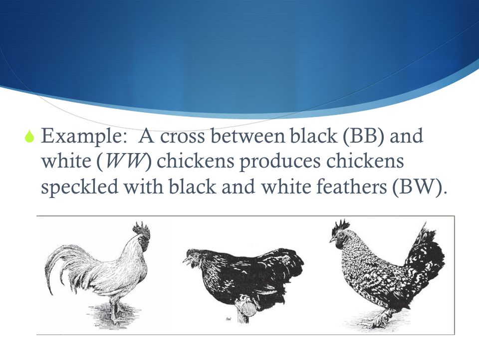  Example: A cross between black (BB) and white ( WW ) chickens produces chickens speckled with black and white feathers (BW).