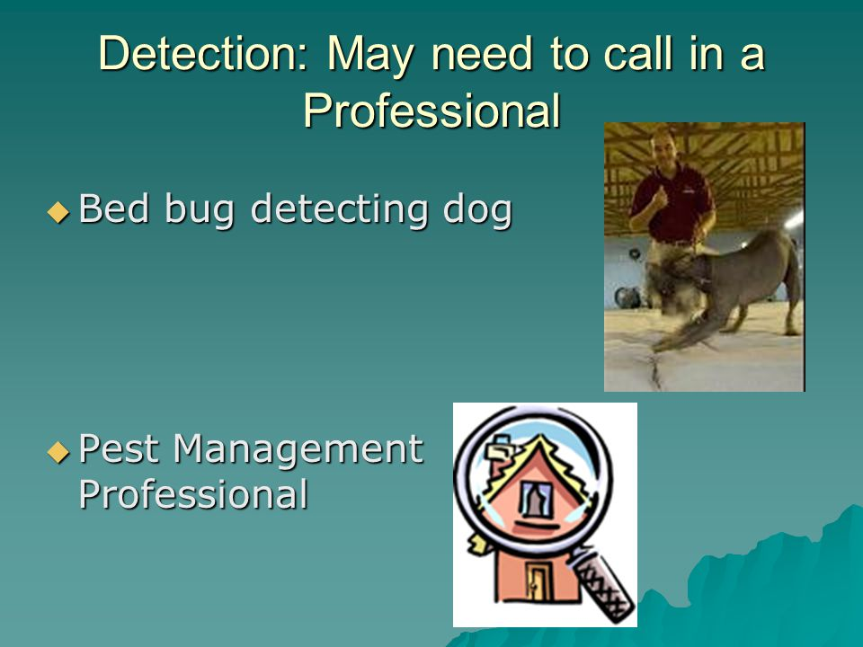 Detection: May need to call in a Professional  Bed bug detecting dog  Pest Management Professional
