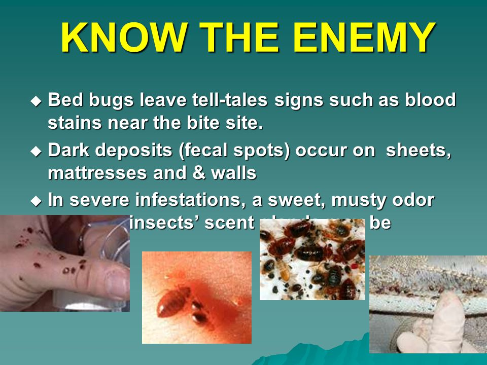 KNOW THE ENEMY  Bed bugs leave tell-tales signs such as blood stains near the bite site.