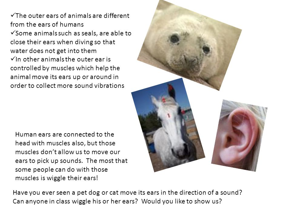 The outer ears of animals are different from the ears of humans Some animals such as seals, are able to close their ears when diving so that water does not get into them In other animals the outer ear is controlled by muscles which help the animal move its ears up or around in order to collect more sound vibrations Human ears are connected to the head with muscles also, but those muscles don't allow us to move our ears to pick up sounds.