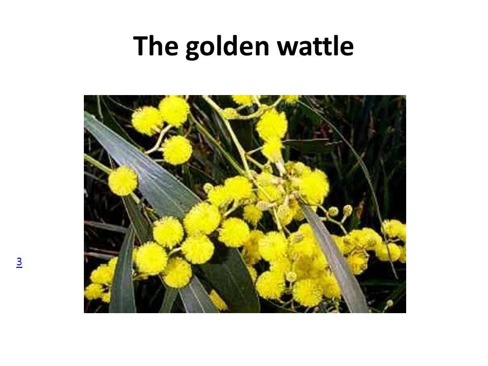 The golden wattle 3