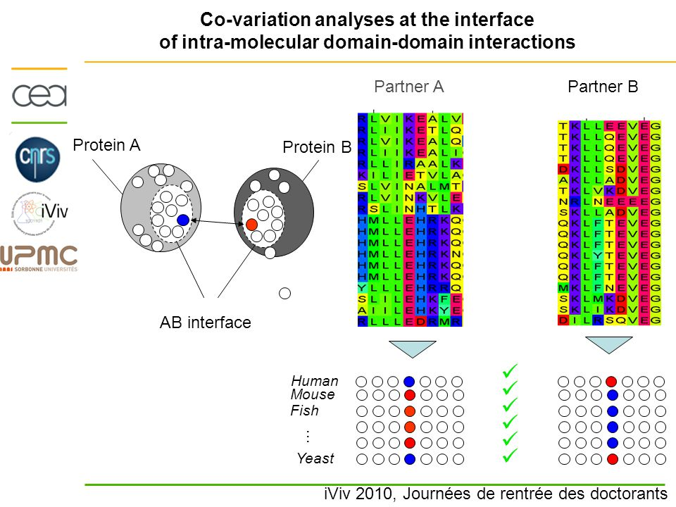 iViv 2010, Journées de rentrée des doctorants Co-variation analyses at the interface of intra-molecular domain-domain interactions Protein A Protein B AB interface Human Partner B Fish Yeast … Mouse Partner A