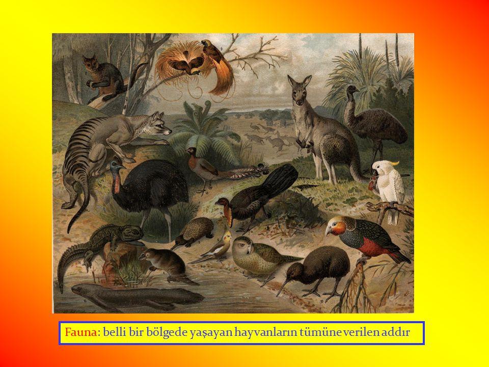 Fauna: belli bir bölgede yaşayan hayvanların tümüne verilen addır