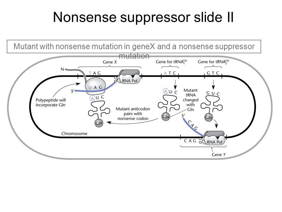 Nonsense suppressor slide II Mutant with nonsense mutation in geneX and a nonsense suppressor mutation