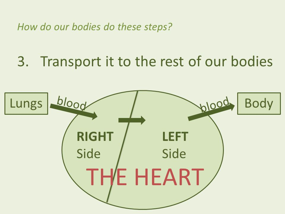 3.Transport it to the rest of our bodies How do our bodies do these steps? RIGHT Side LEFT Side blood THE HEART LungsBody blood