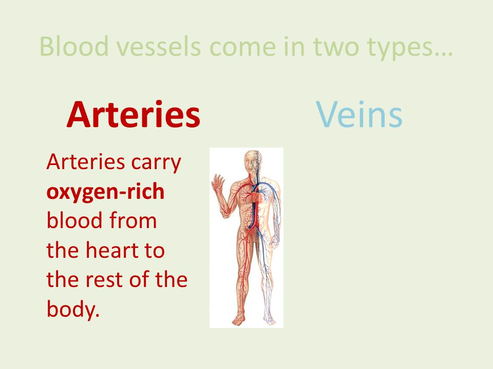 Blood vessels come in two types… ArteriesVeins Arteries carry oxygen-rich blood from the heart to the rest of the body.