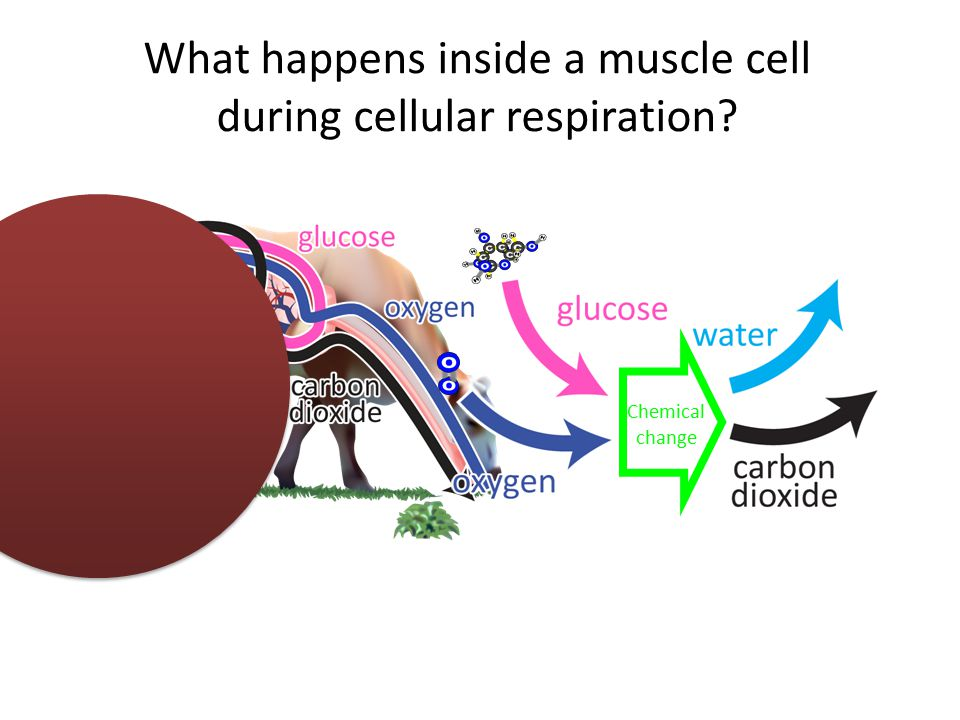 What happens inside a muscle cell during cellular respiration Chemical change