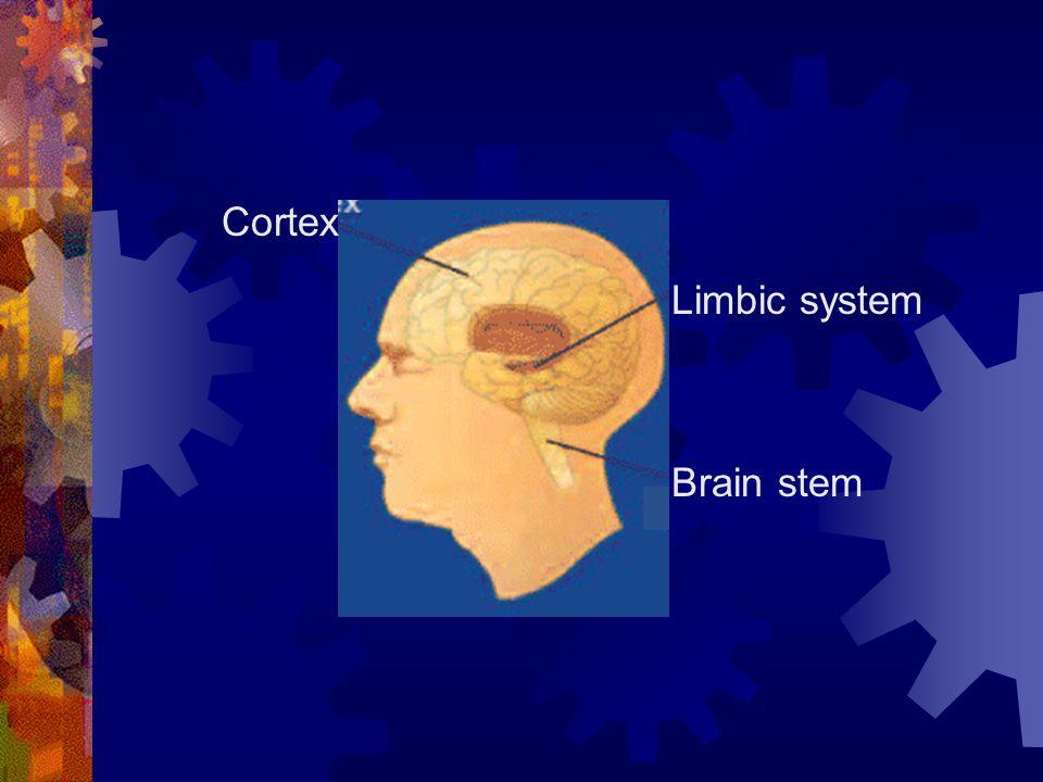 Brain stem Limbic system Cortex