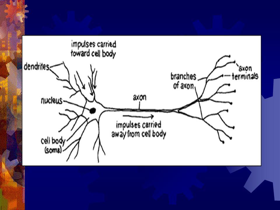 Dense Pathways in the Brain hyperlink