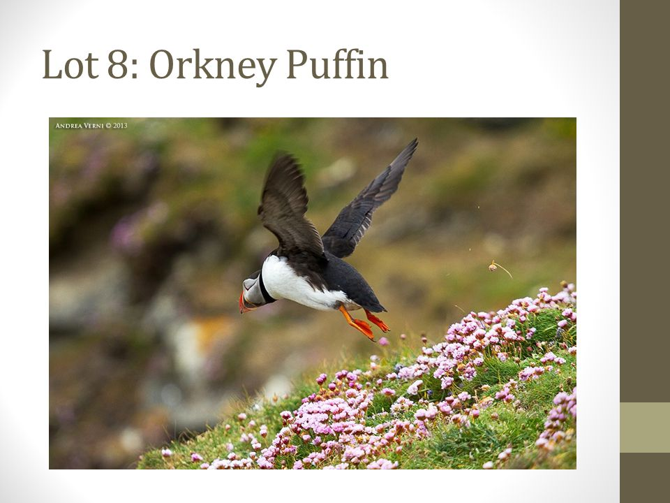 Lot 8: Orkney Puffin