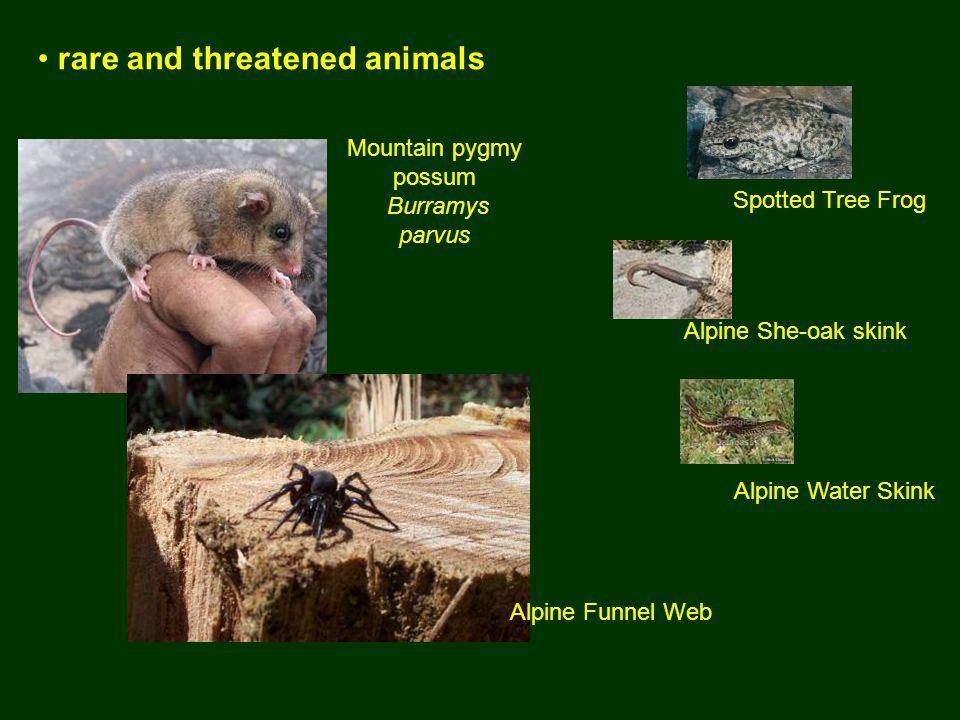Mountain pygmy possum Burramys parvus rare and threatened animals Alpine Funnel Web Spotted Tree Frog Alpine She-oak skink Alpine Water Skink