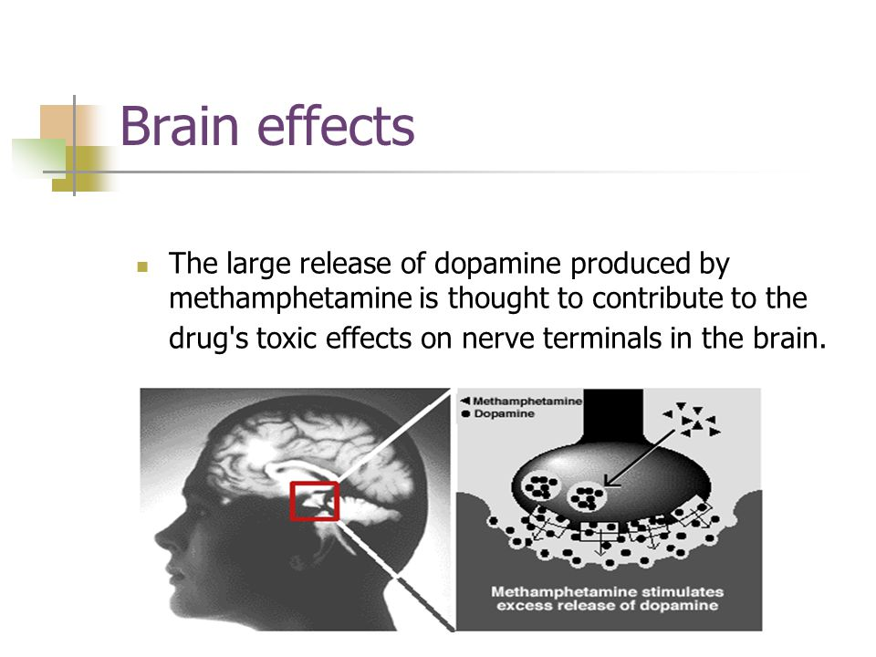 Brain effects The large release of dopamine produced by methamphetamine is thought to contribute to the drug s toxic effects on nerve terminals in the brain.