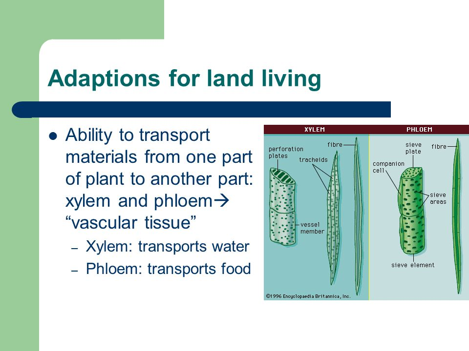 Adaptions for land living Ability to stand up straight: – Cell wall: made of cellulose (stuff you can't digest) – Vacuole: full of water
