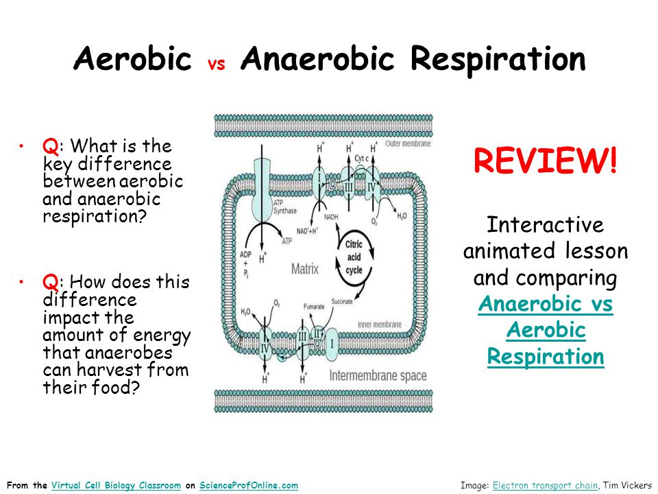 Aerobic vs Anaerobic Respiration Q: What is the key difference between aerobic and anaerobic respiration? Q: How does this difference impact the amoun
