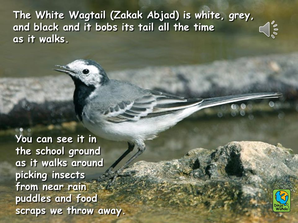 The White Wagtail (Zakak Abjad) is white, grey, and black and it bobs its tail all the time as it walks. The White Wagtail (Zakak Abjad) is white, gre