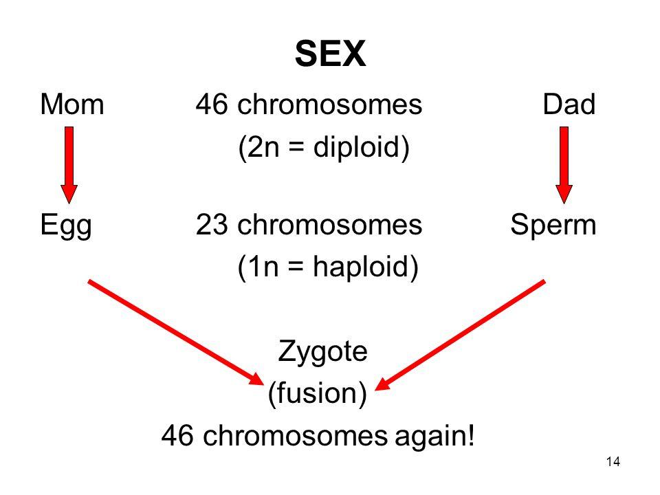 14 SEX Mom 46 chromosomes Dad (2n = diploid) Egg 23 chromosomes Sperm (1n = haploid) Zygote (fusion) 46 chromosomes again!
