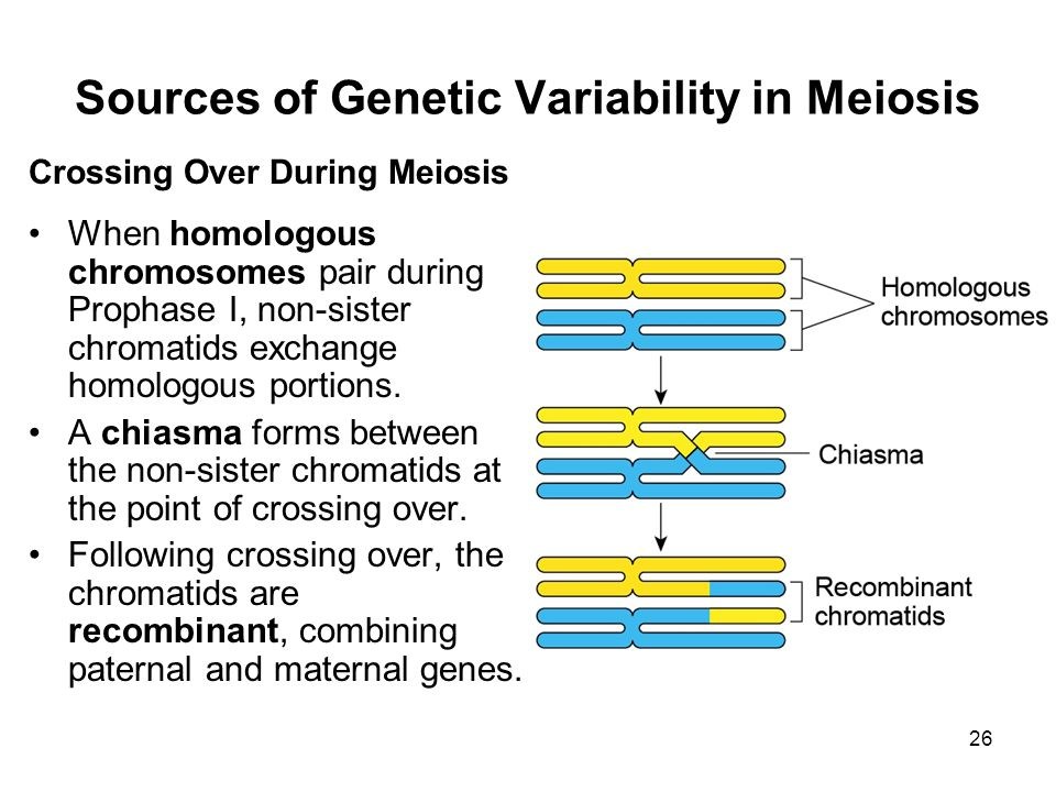 26 Sources of Genetic Variability in Meiosis Crossing Over During Meiosis When homologous chromosomes pair during Prophase I, non-sister chromatids exchange homologous portions.