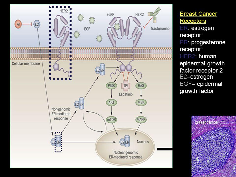 Breast Cancer Receptors ER: estrogen receptor PR: progesterone receptor HER2: human epidermal growth factor receptor-2 E2=estrogen EGF= epidermal grow
