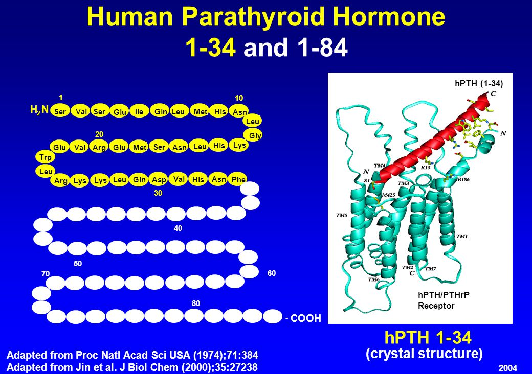 hPTH1-34 (crystal structure) Adapted from Proc Natl Acad Sci USA (1974);71:384 Adapted from Jin et al.