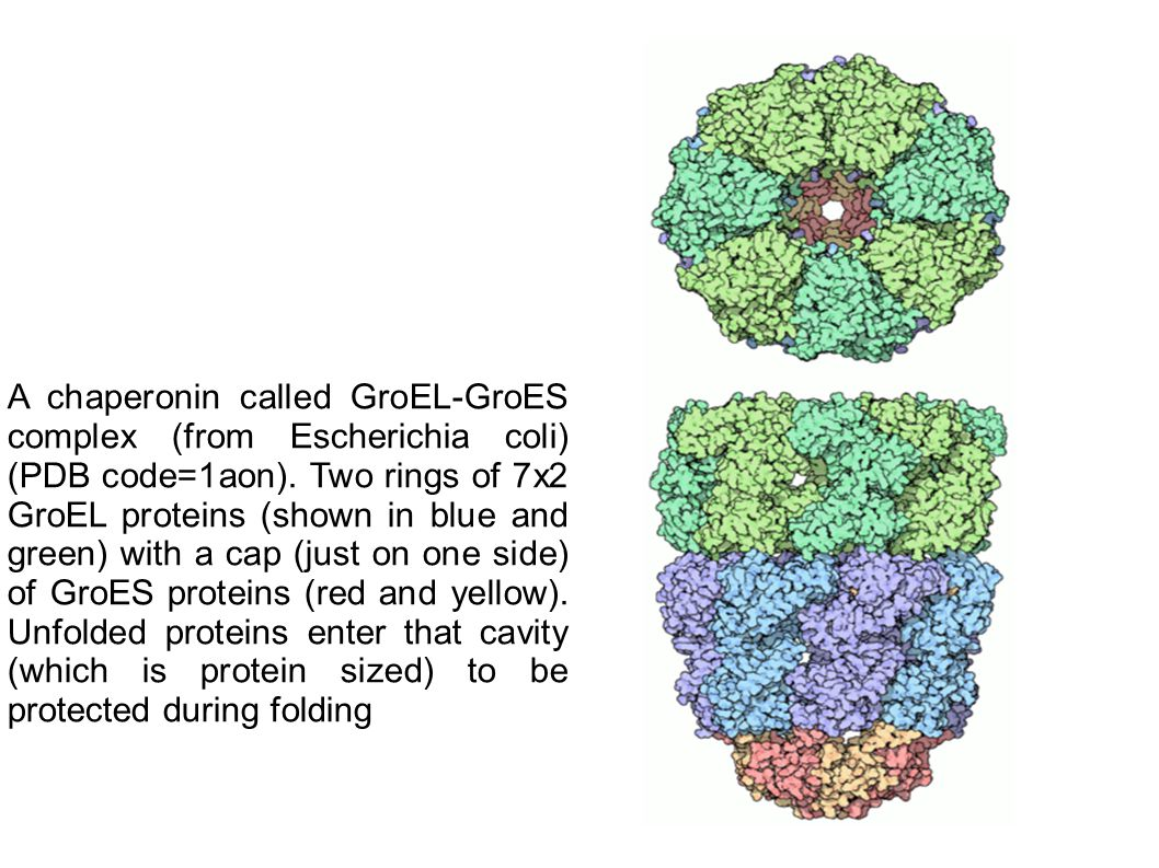 A chaperonin called GroEL-GroES complex (from Escherichia coli) (PDB code=1aon). Two rings of 7x2 GroEL proteins (shown in blue and green) with a cap