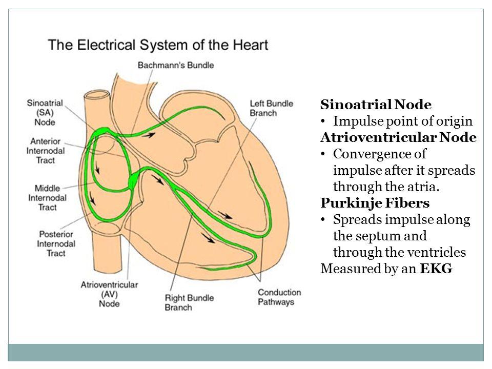 Sinoatrial Node Impulse point of origin Atrioventricular Node Convergence of impulse after it spreads through the atria. Purkinje Fibers Spreads impul