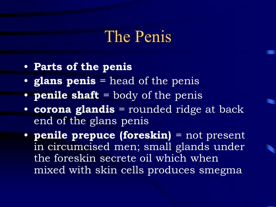 The Penis Parts of the penis glans penis = head of the penis penile shaft = body of the penis corona glandis = rounded ridge at back end of the glans