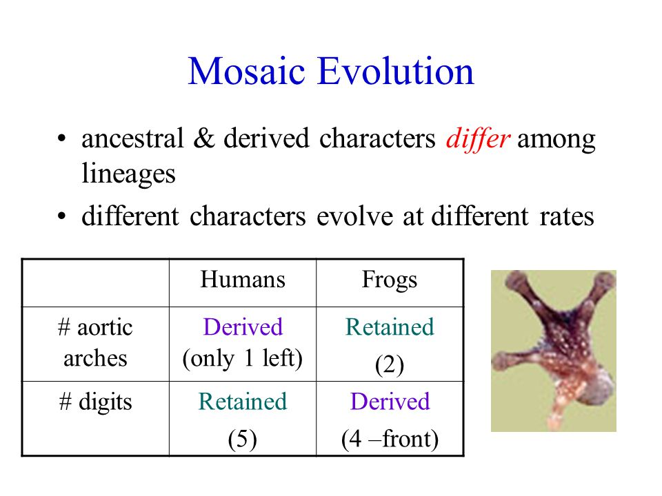 Mosaic Evolution ancestral & derived characters differ among lineages different characters evolve at different rates HumansFrogs # aortic arches Derived (only 1 left) Retained (2) # digitsRetained (5) Derived (4 –front)