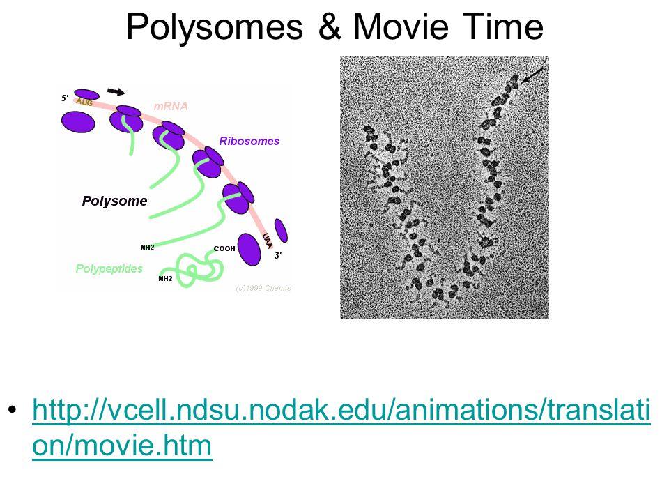 Polysomes & Movie Time http://vcell.ndsu.nodak.edu/animations/translati on/movie.htmhttp://vcell.ndsu.nodak.edu/animations/translati on/movie.htm
