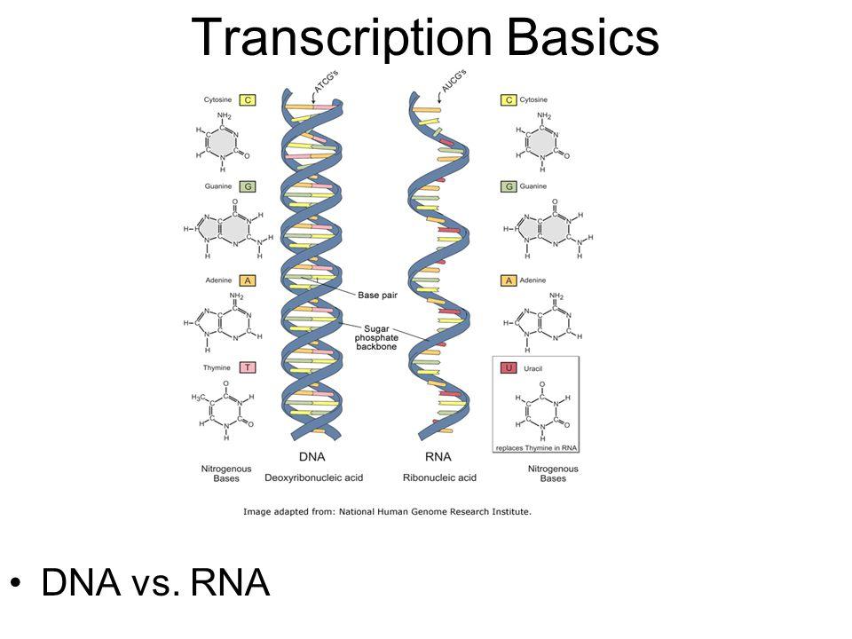 Transcription Basics DNA vs. RNA