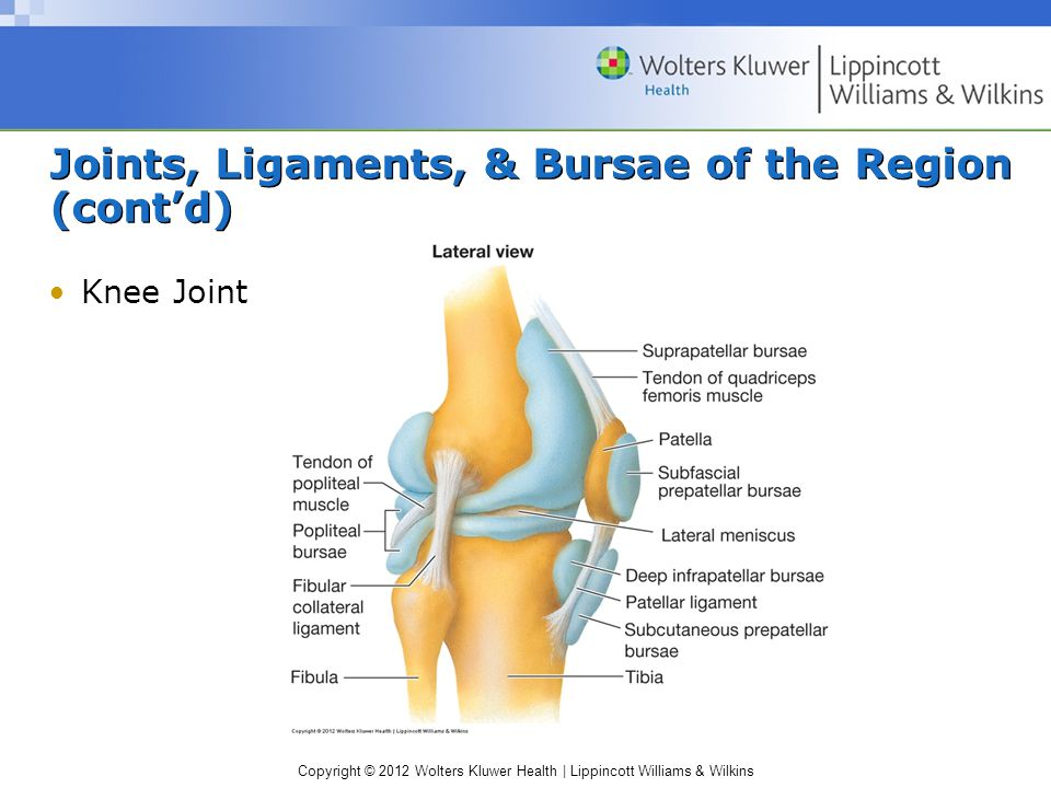 Copyright © 2012 Wolters Kluwer Health | Lippincott Williams & Wilkins Joints, Ligaments, & Bursae of the Region (cont'd) Knee Joint