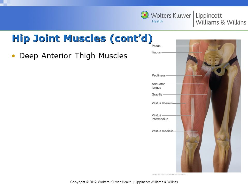 Copyright © 2012 Wolters Kluwer Health | Lippincott Williams & Wilkins Hip Joint Muscles (cont'd) Deep Anterior Thigh Muscles