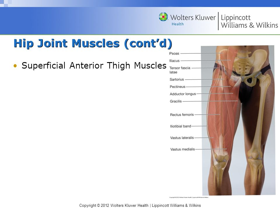 Copyright © 2012 Wolters Kluwer Health | Lippincott Williams & Wilkins Hip Joint Muscles (cont'd) Superficial Anterior Thigh Muscles