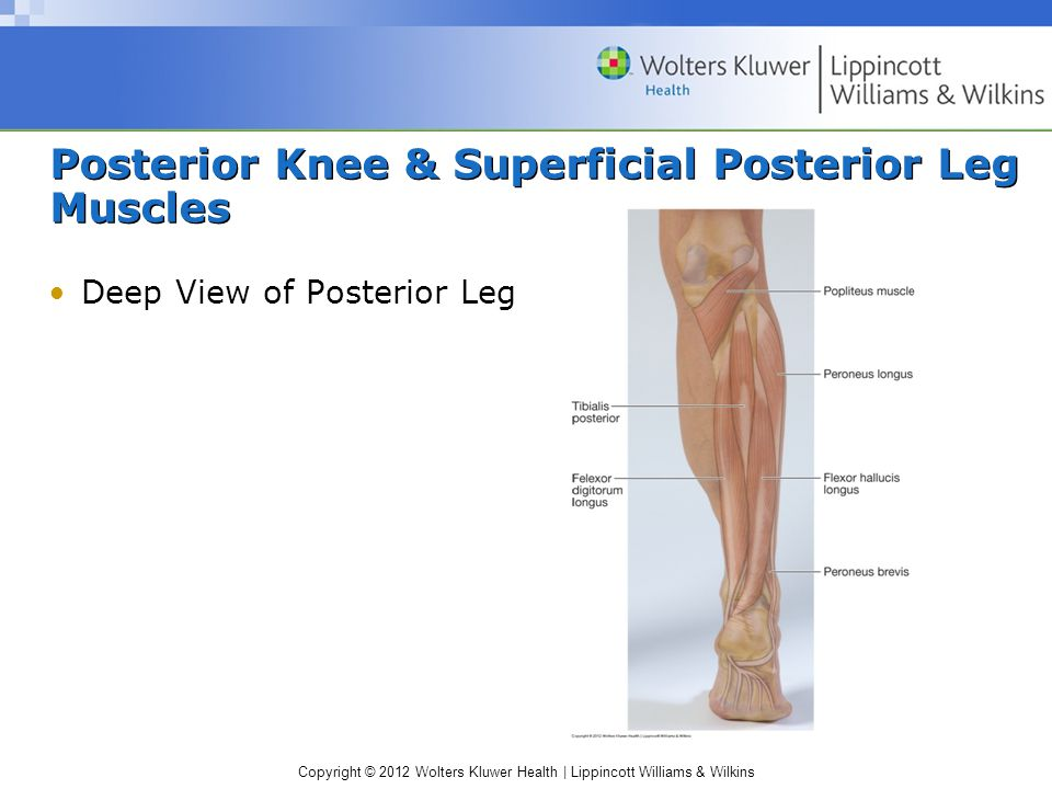 Copyright © 2012 Wolters Kluwer Health | Lippincott Williams & Wilkins Posterior Knee & Superficial Posterior Leg Muscles Deep View of Posterior Leg
