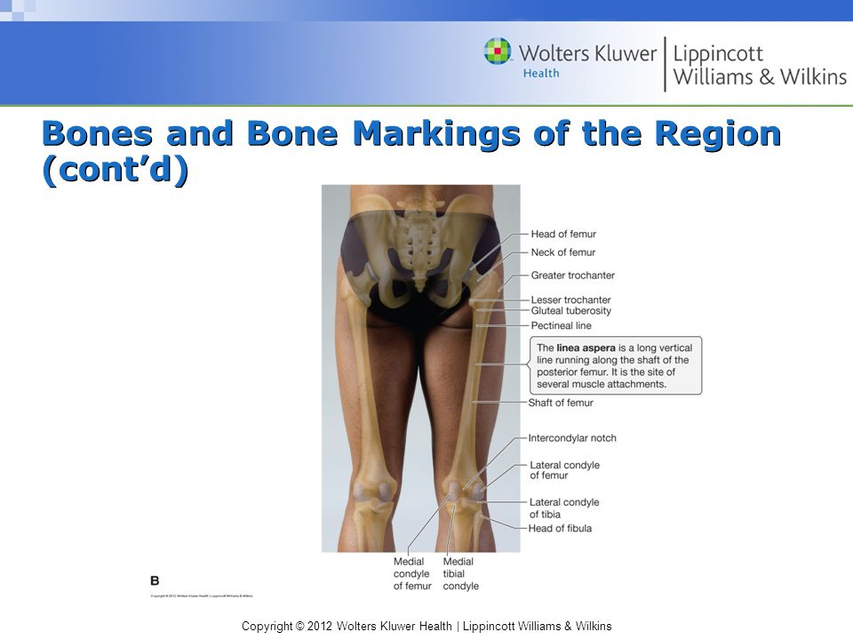Copyright © 2012 Wolters Kluwer Health | Lippincott Williams & Wilkins Bones and Bone Markings of the Region (cont'd)