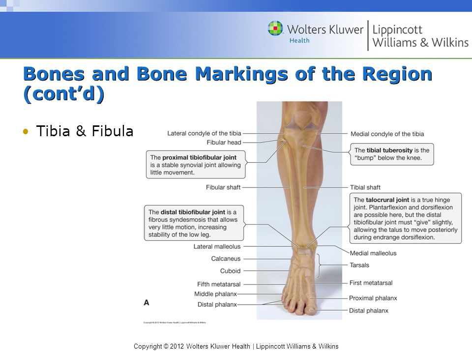Copyright © 2012 Wolters Kluwer Health | Lippincott Williams & Wilkins Bones and Bone Markings of the Region (cont'd) Tibia & Fibula