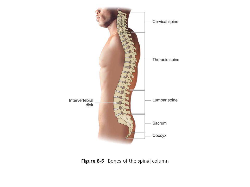 Figure 8-6 Bones of the spinal column
