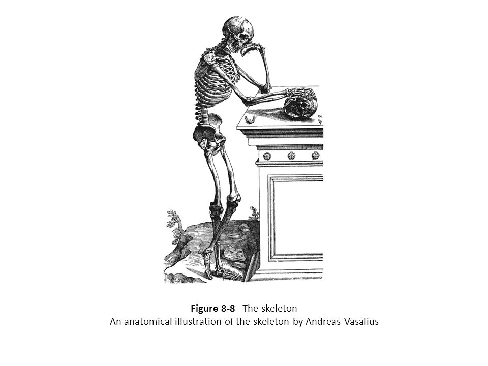 Figure 8-8 The skeleton An anatomical illustration of the skeleton by Andreas Vasalius