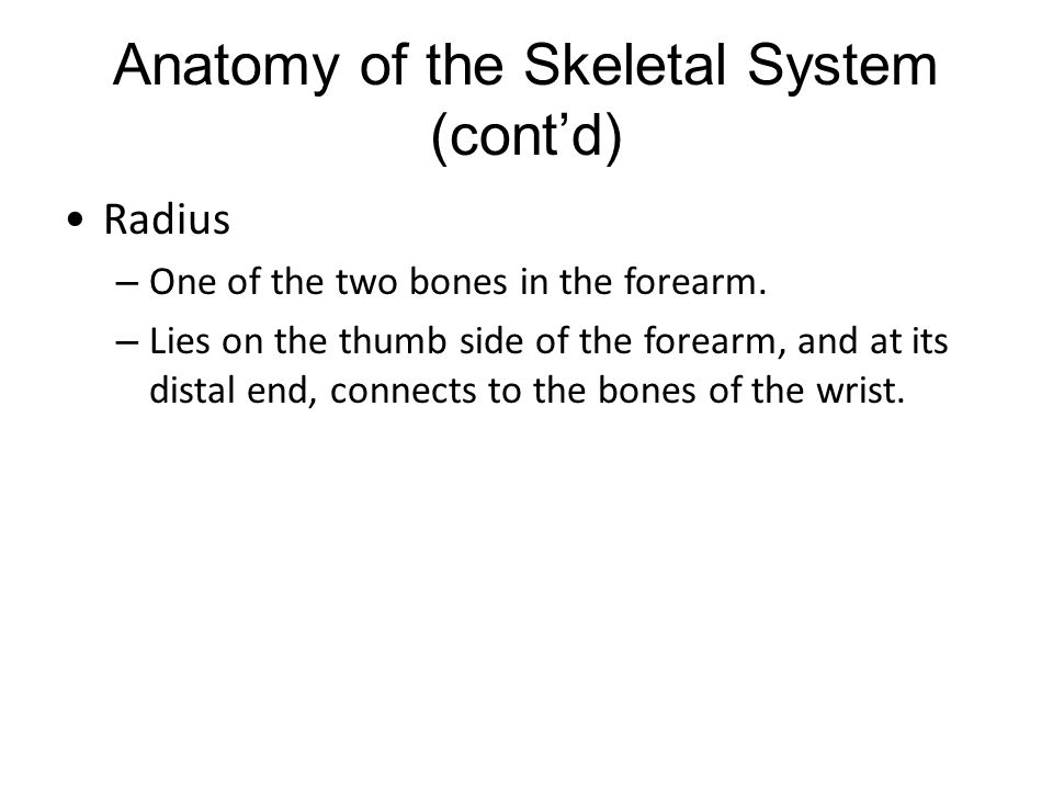 Anatomy of the Skeletal System (cont'd) Radius – One of the two bones in the forearm. – Lies on the thumb side of the forearm, and at its distal end,