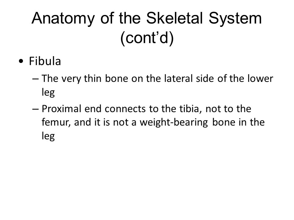 Anatomy of the Skeletal System (cont'd) Fibula – The very thin bone on the lateral side of the lower leg – Proximal end connects to the tibia, not to