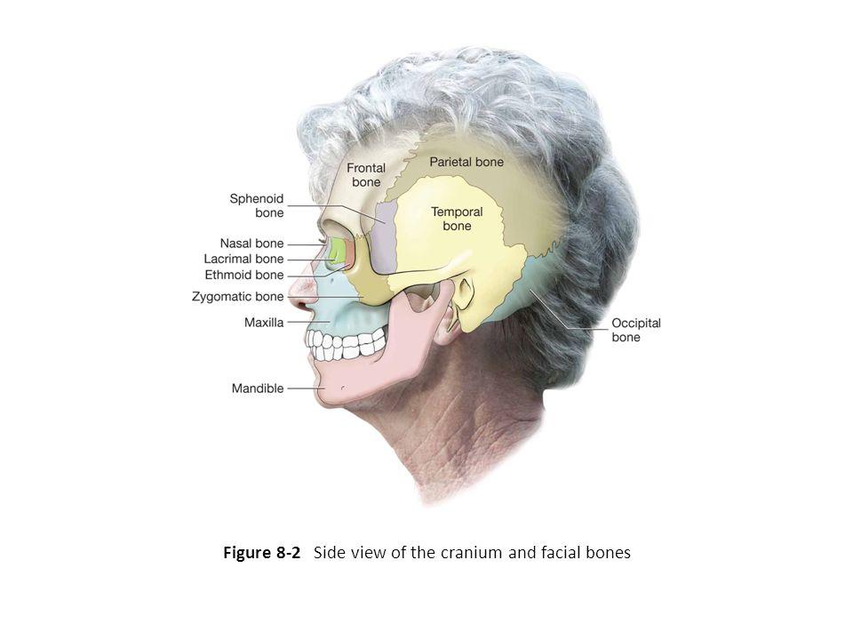 Figure 8-2 Side view of the cranium and facial bones