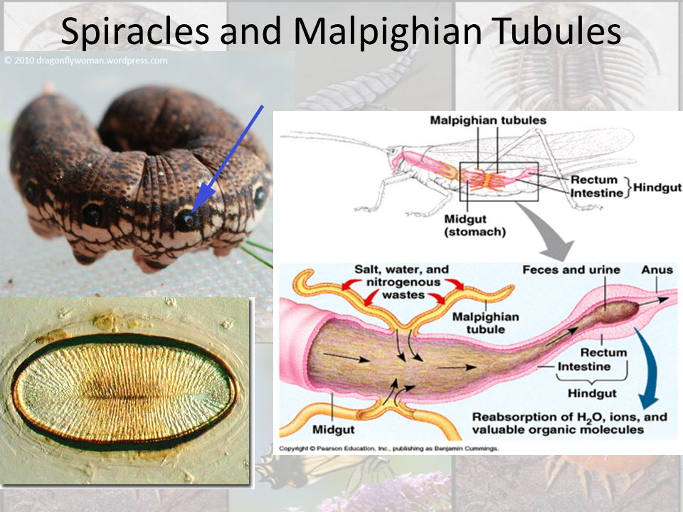 Spiracles and Malpighian Tubules