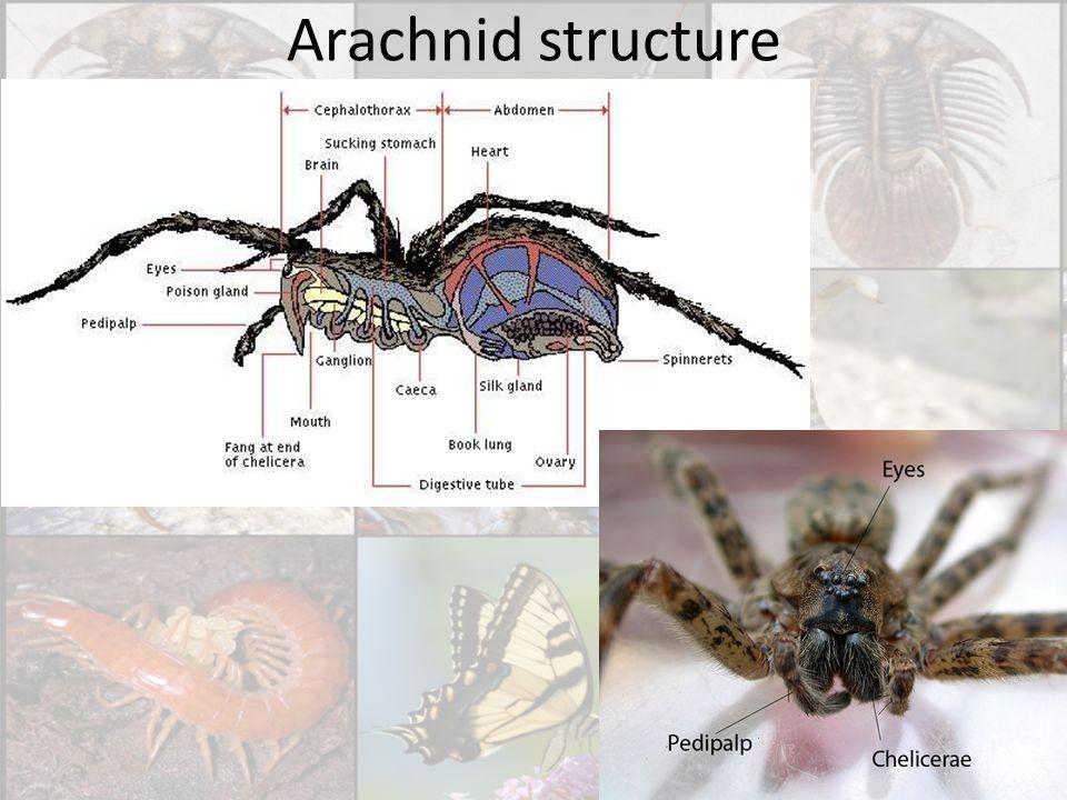 Arachnid structure