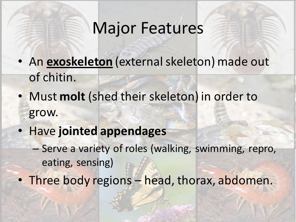 Major Features An exoskeleton (external skeleton) made out of chitin.