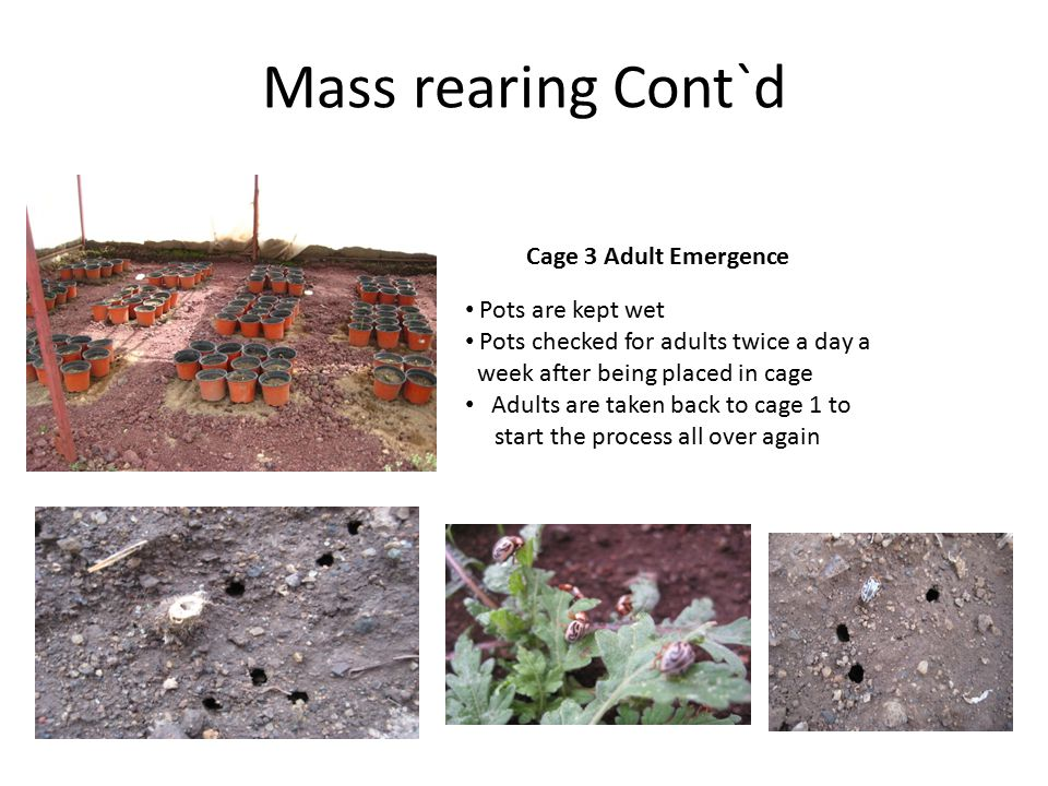 Mass rearing Cont`d Cage 3 Adult Emergence Pots are kept wet Pots checked for adults twice a day a week after being placed in cage Adults are taken back to cage 1 to start the process all over again